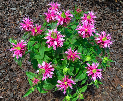 Pink bee balm bloom in the garden at the BLUE WHALE INN.