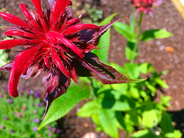 Bee balm bloom in BLUE WHALE INN's flower garden.